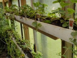 Gutters Repurposed with Strawberry Plants